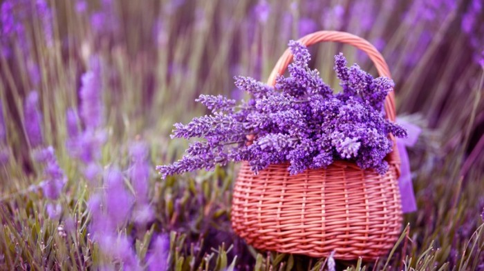 preview_beautiful-lavender-flowers